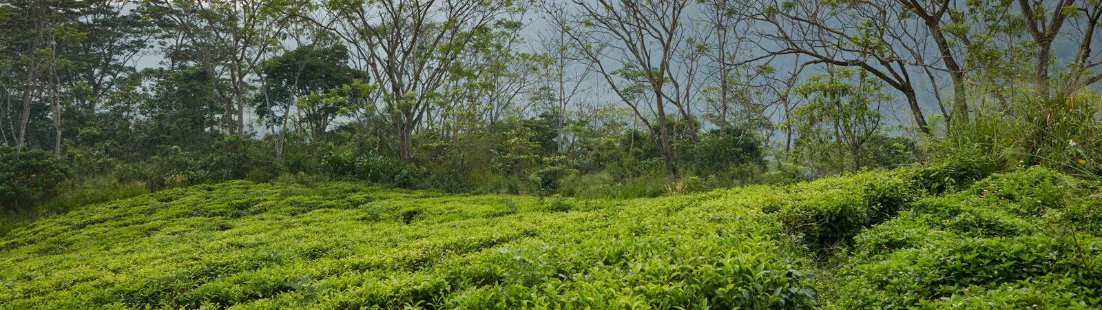 Our Tea Gardens